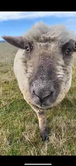 2 SOUTHDOWN SHEEP