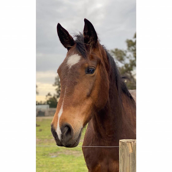 BELLA - Clydesdale x TB Mare