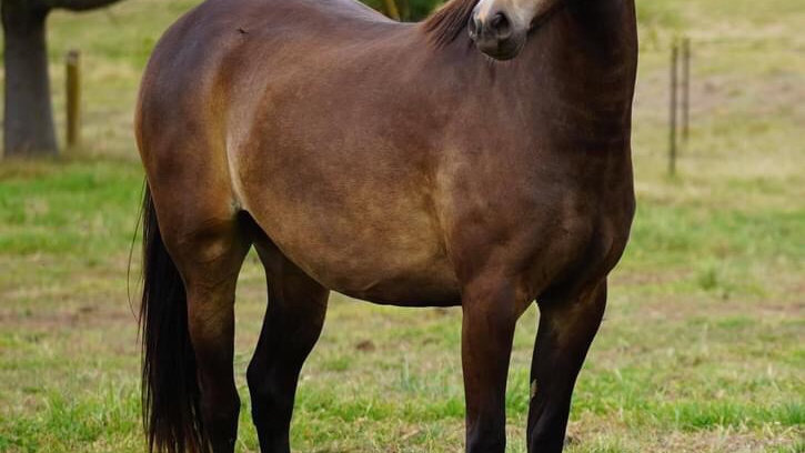 IMPERIAL JUSTYEE - Welsh B Filly