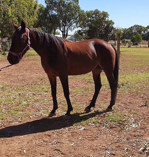 (DREAMING MARY 2011)  - Standardbred Mare