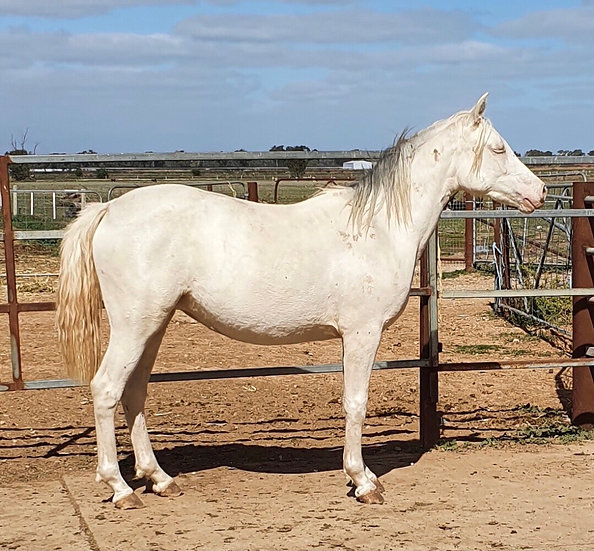 WYANN BAMBY - PART BRED CREMELLO FILLY