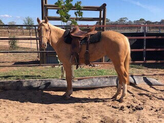 SUNNY - QH Filly