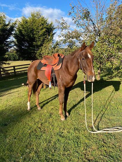 HANK - Stock Horse Gelding