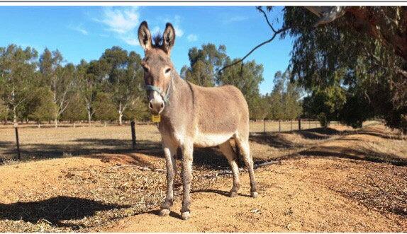 OWEN & ARRON - Donkey Gelding