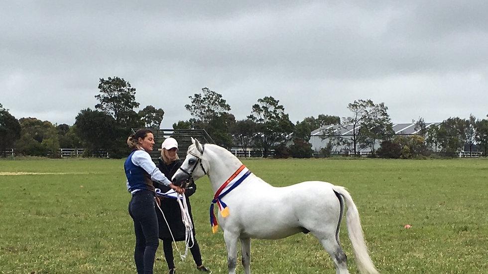 DALGANGLE ROCCO - Welsh A Stallion
