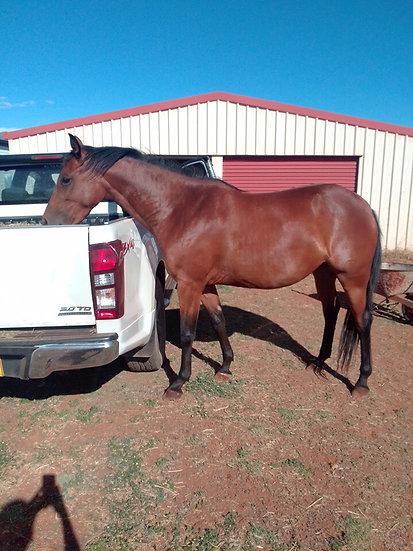 MOLLY -  Stock Horse Filly