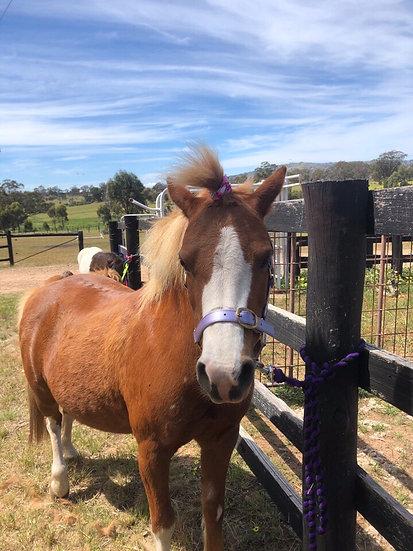 DAISY - Welsh Mountain Pony Mare