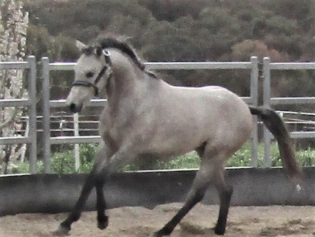 MACARTHURPARC CARTIER (BUDDY) - Registered Riding Pony Stallion