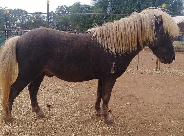 GIZMO - Miniature Stallion