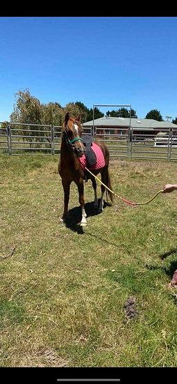 DOUGIE - Arabian Pony Gelding