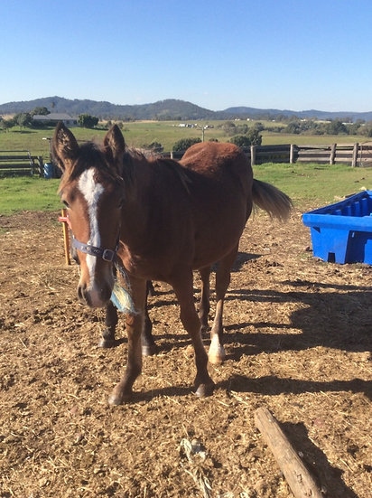 LACEY - Draught x Clydie Filly