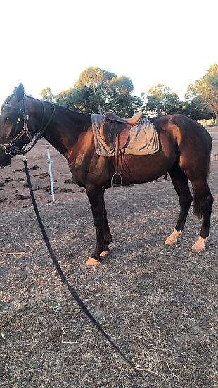 TED (TED AND NED 2015) - Standardbred Gelding