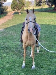 JIMMY - Riding Pony Gelding