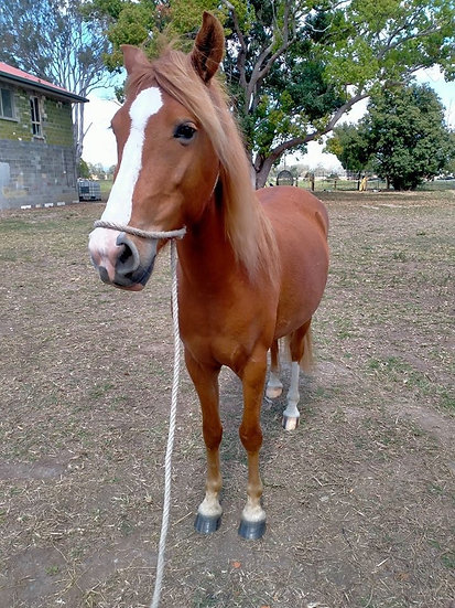 ABBY - WELSH MARE