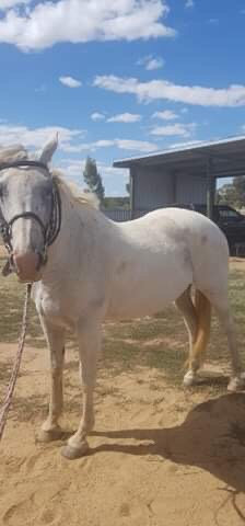 MILLY - Percheron x Anglo Mare