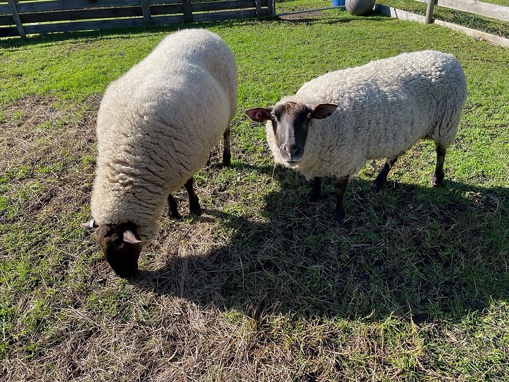 2 SUFFOLK SHEEP