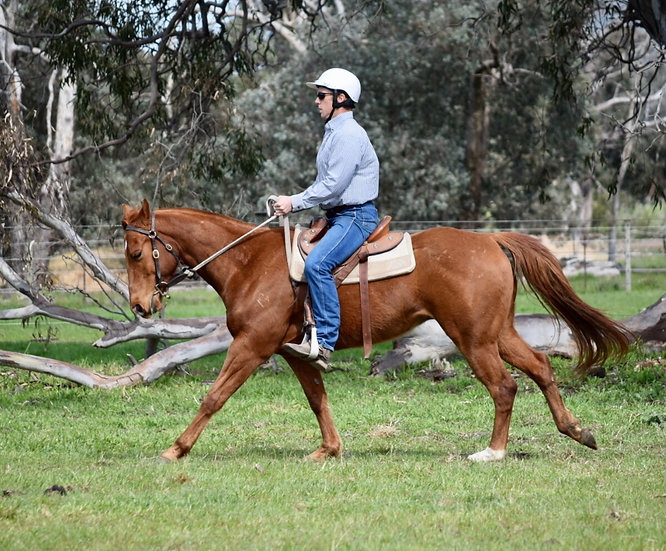 BOBBY - QH x Stock Horse Gelding