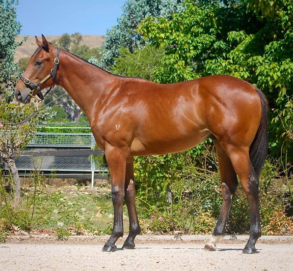 (HEADWATER/MS WICKED WANDA 2019) - Yearling Thoroughbred Colt