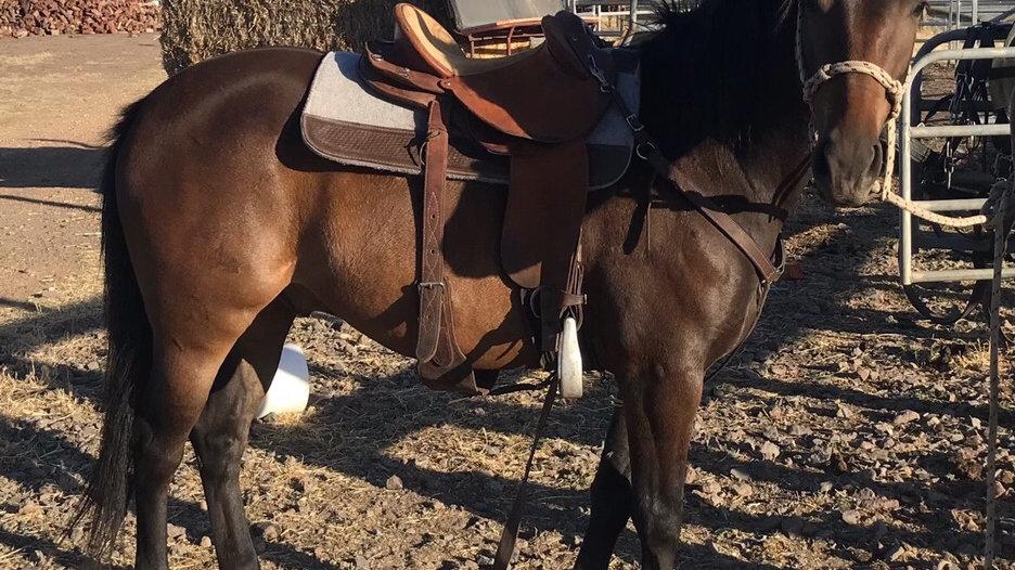 BANJO - Quarter Pony Gelding