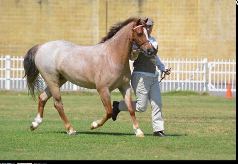 CHARISMA - Welsh Pony Mare