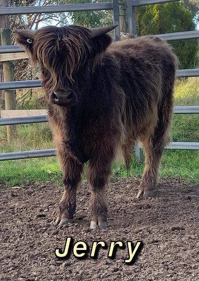 JERRY - Highland Bull