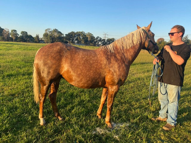 LACEY - Stock Horse x Welsh Mare