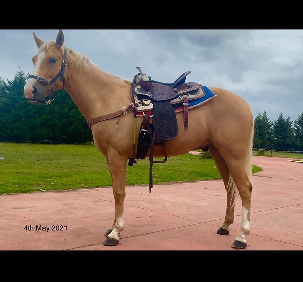 MAGIC  - QH Gelding