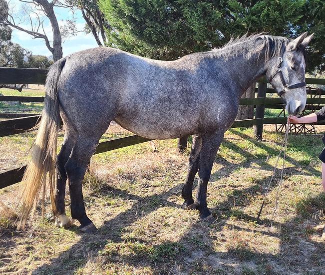 KERSBROOK KIRA KIRA - Irish Sport Horse Filly