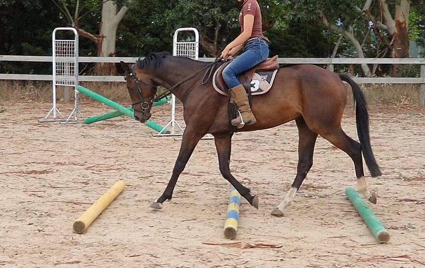 OSCAR - RP x Stock Horse Gelding
