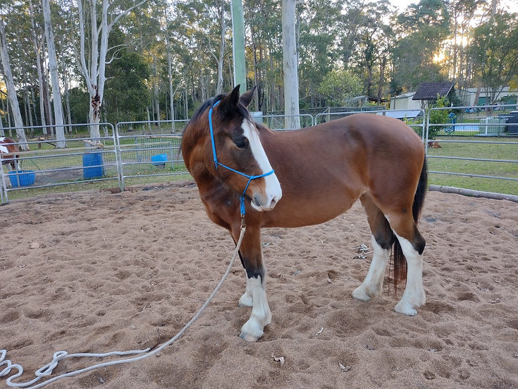 LUCY - Clydie x Paint Mare