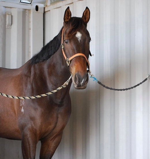 DANNY (THOUSAND TALES 2014)  - Thoroughbred Gelding