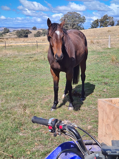 FYN (LOVERS TRUST 2017)  - Thoroughbred Mare