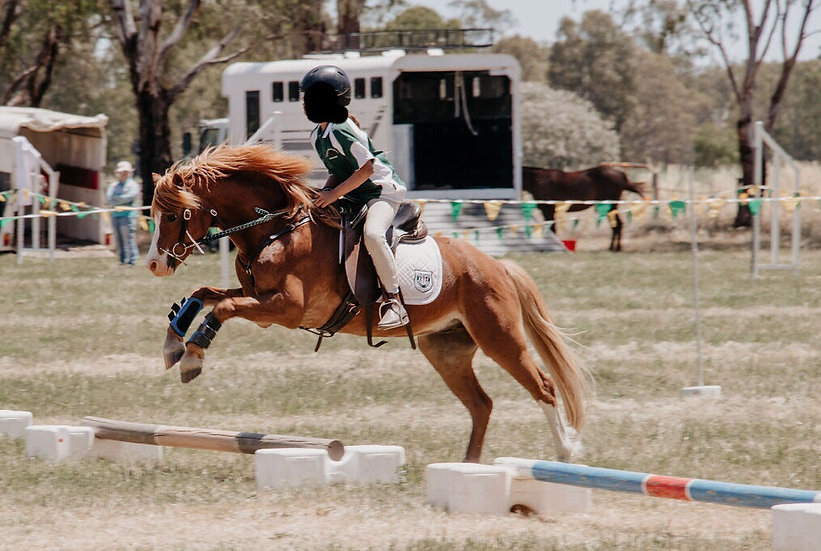 MAGNET - Welsh Pony Gelding