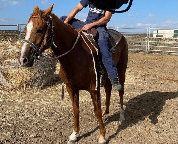 PADDY - Stock Horse Gelding