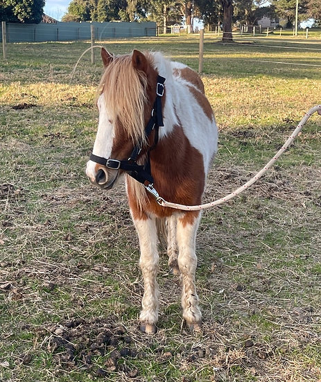 PUDDLES - PINTO GELDING