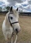 STORMY - Riding Pony Gelding