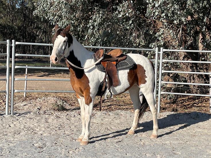 BJ - Stock Horse Gelding