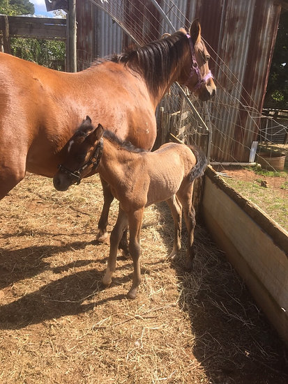 BUCKWELL PARK BALLERINA - Arabian Riding Pony Mare & Filly Foal
