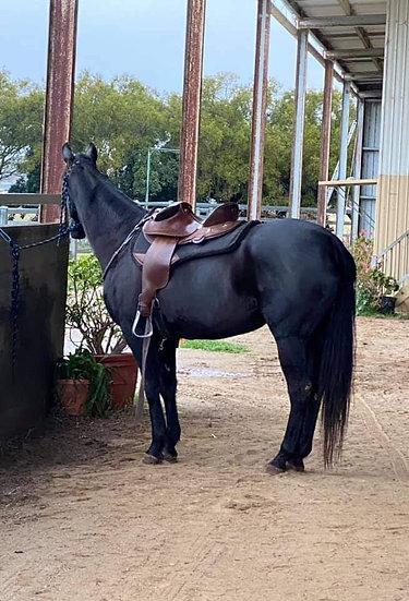 FLOYD - Stock Horse Gelding