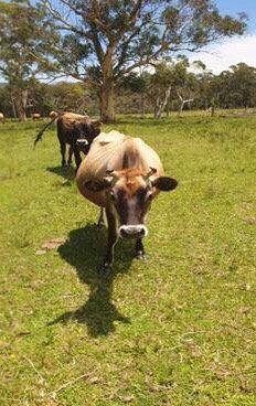 9 Jersey Cows/Heifers
