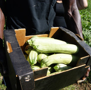 Our organic zucchini