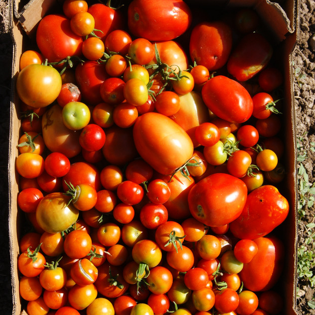Tomatoes to go to the organic boxes