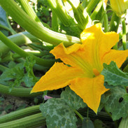 Growing zucchini - course Cultivando Futuros