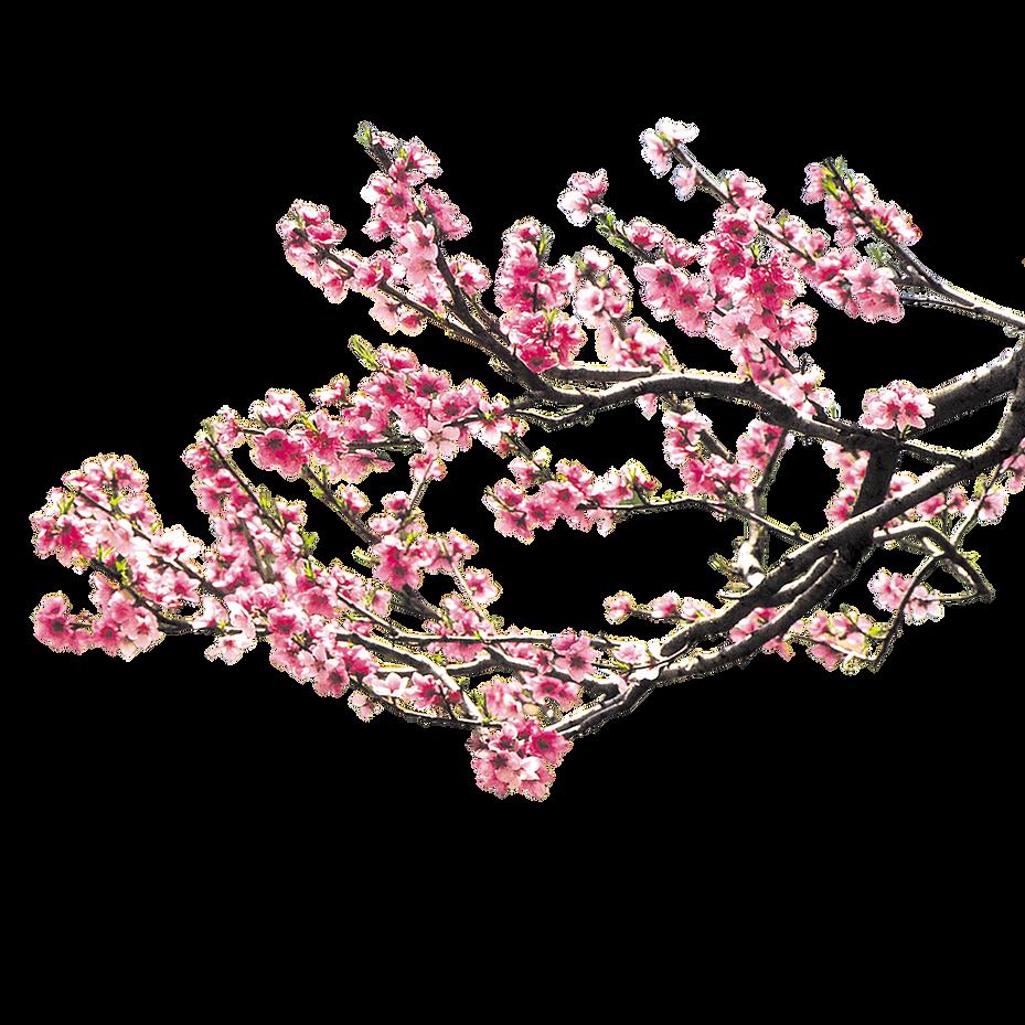 IMGBIN_cherry-blossom-pink-peach-blossom