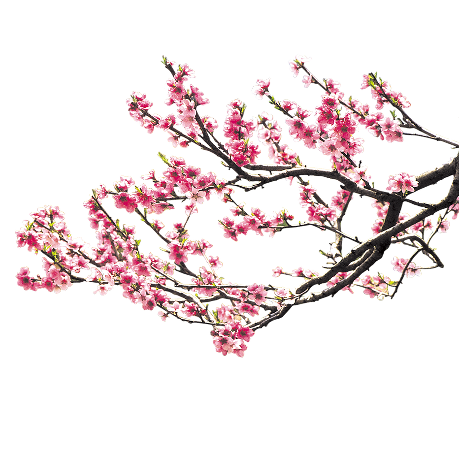 IMGBIN_cherry-blossom-pink-peach-blossom