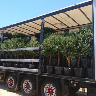 Transport Olea Europaea 35L natural shap