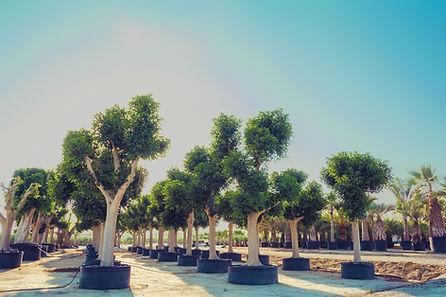 Ficus Australis - 100120.jpg
