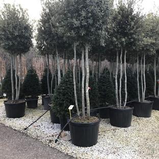 Quercus Ilex Multitronc.JPG