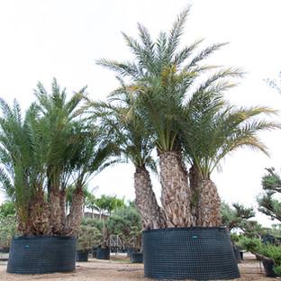 Phoenix Dactilera Grupe
