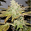 Thumbnail: Lemon Gelato (Feminized)